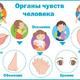 Органы чувств человека. Плакат для детского сада и школы